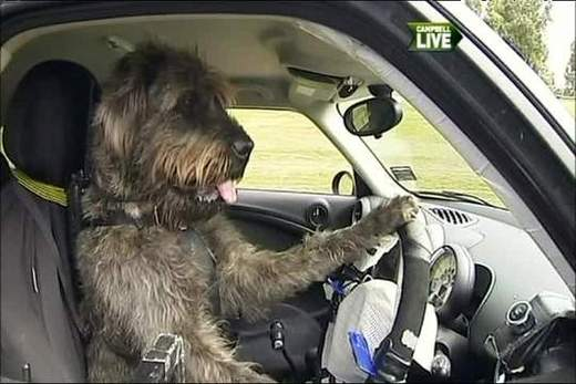 dogs that can drive a car you better believe it kids news article. Black Bedroom Furniture Sets. Home Design Ideas