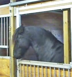 Video Of The Week Friesian Horse Is Stable Lock Opener