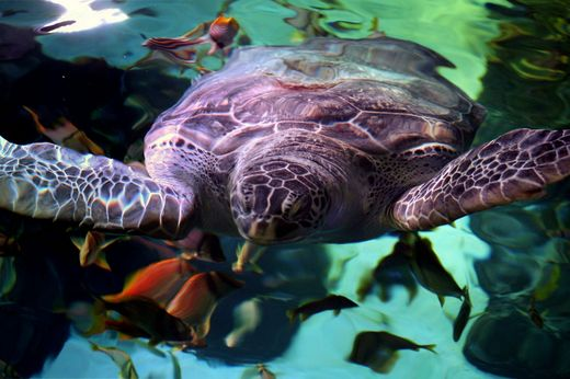 Overweight Aquarium Turtle Is Placed On A Diet! Kids News Article